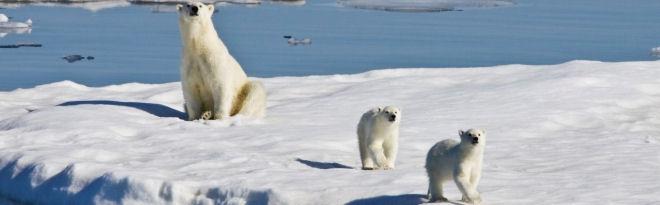 Three polar bears on an ice floe